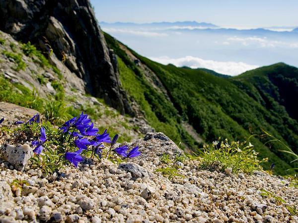 Mountain Harebell (Campanula Lasiocarpa) https://www.sagebud.com/mountain-harebell-campanula-lasiocarpa