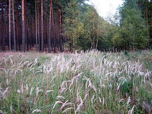 Reedgrass