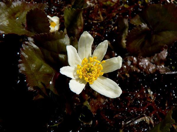 White Marsh Marigold (Caltha Leptosepala) https://www.sagebud.com/white-marsh-marigold-caltha-leptosepala
