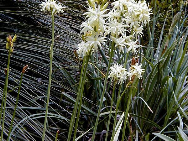 Large Camas (Camassia Leichtlinii) https://www.sagebud.com/large-camas-camassia-leichtlinii/