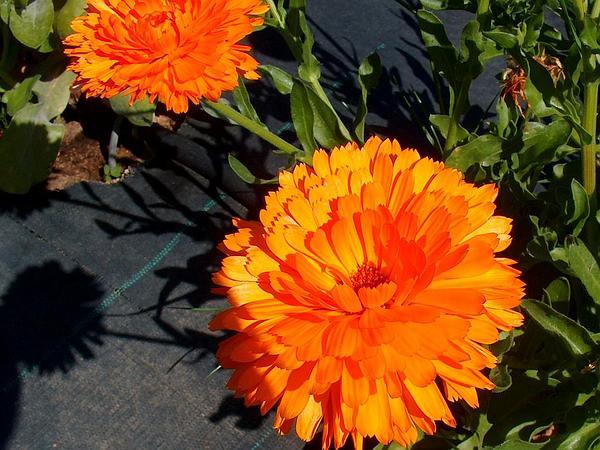 Marigold (Calendula) https://www.sagebud.com/marigold-calendula