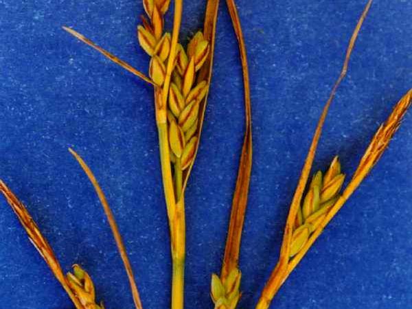 Livid Sedge (Carex Livida) https://www.sagebud.com/livid-sedge-carex-livida