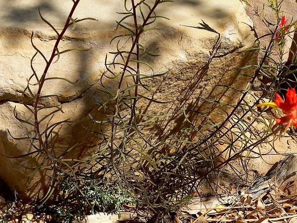 Wyoming Indian Paintbrush (Castilleja Linariifolia) https://www.sagebud.com/wyoming-indian-paintbrush-castilleja-linariifolia