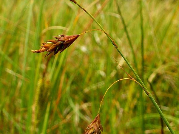 Mud Sedge (Carex Limosa) https://www.sagebud.com/mud-sedge-carex-limosa/