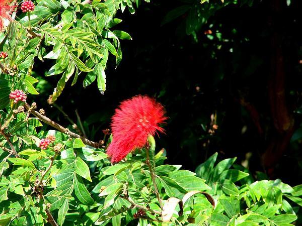 Stickpea (Calliandra) https://www.sagebud.com/stickpea-calliandra