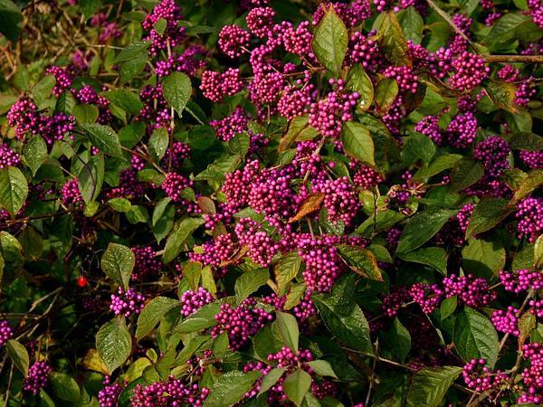 Beautyberry (Callicarpa) https://www.sagebud.com/beautyberry-callicarpa