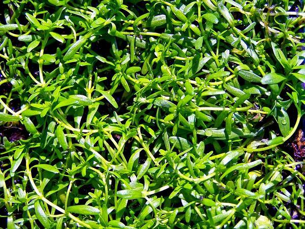 Water-Starwort (Callitriche) https://www.sagebud.com/water-starwort-callitriche