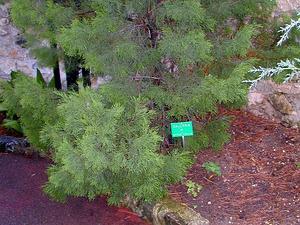 Cypress-Pine