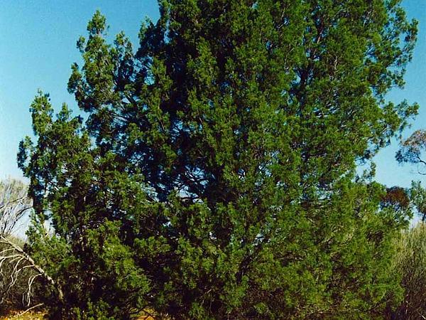 Cypress-Pine (Callitris) https://www.sagebud.com/cypress-pine-callitris