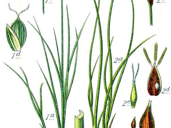 Ryegrass Sedge (Carex Loliacea) https://www.sagebud.com/ryegrass-sedge-carex-loliacea/