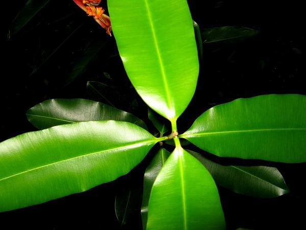 Calophyllum (Calophyllum) https://www.sagebud.com/calophyllum-calophyllum