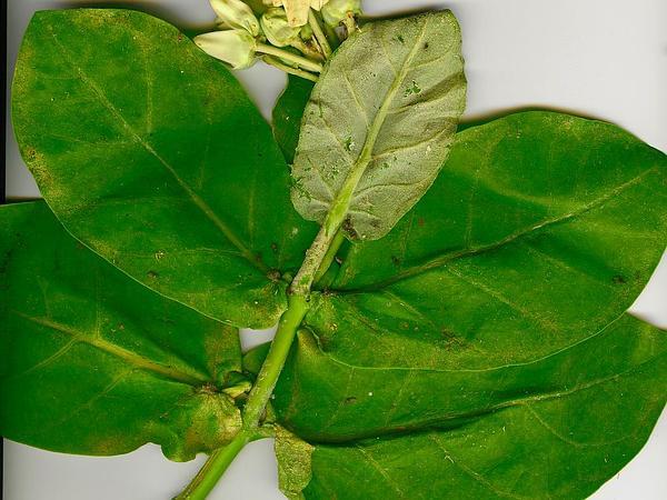 Calotropis (Calotropis) https://www.sagebud.com/calotropis-calotropis