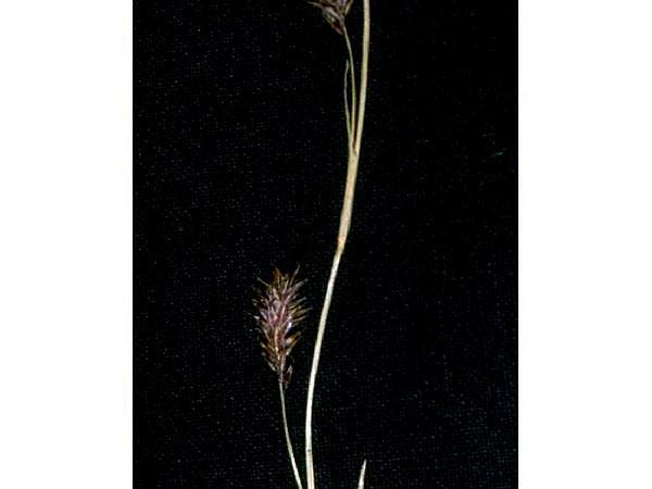 Woodrush Sedge (Carex Luzulina) https://www.sagebud.com/woodrush-sedge-carex-luzulina