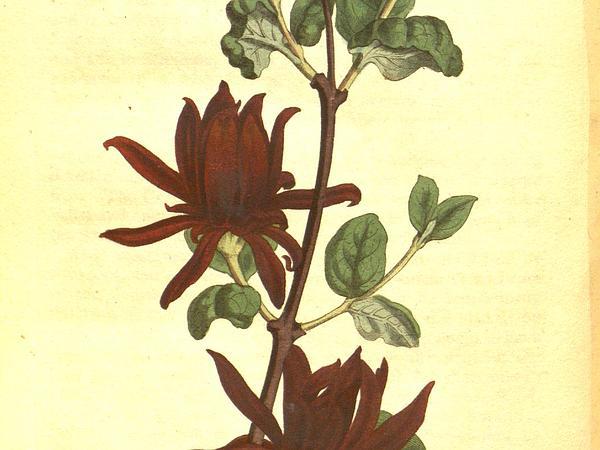 Sweetshrub (Calycanthus) https://www.sagebud.com/sweetshrub-calycanthus