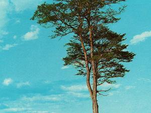 Calycophyllum