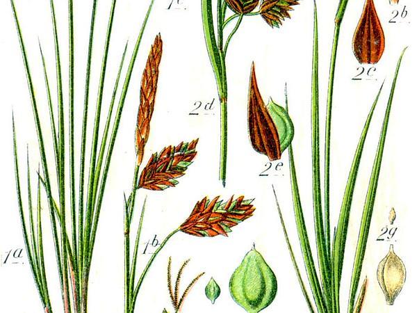 Boreal Bog Sedge (Carex Magellanica) https://www.sagebud.com/boreal-bog-sedge-carex-magellanica/