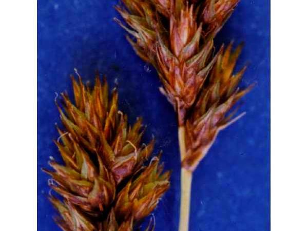 Mariposa Sedge (Carex Mariposana) https://www.sagebud.com/mariposa-sedge-carex-mariposana