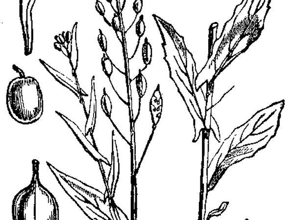 False Flax (Camelina) https://www.sagebud.com/false-flax-camelina/