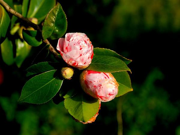 Camellia (Camellia) https://www.sagebud.com/camellia-camellia