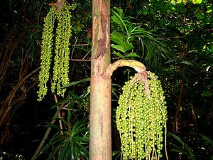 Burmese Fishtail Palm
