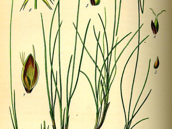 Fewseeded Bog Sedge (Carex Microglochin) https://www.sagebud.com/fewseeded-bog-sedge-carex-microglochin
