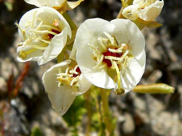 Suncup (Camissonia) https://www.sagebud.com/suncup-camissonia