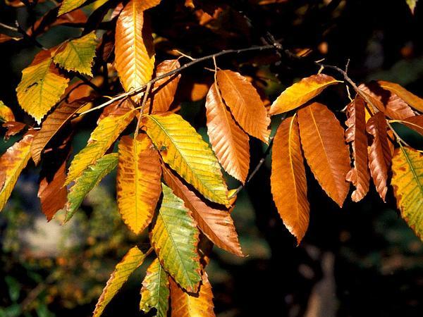 Chinese Chestnut (Castanea Mollissima) https://www.sagebud.com/chinese-chestnut-castanea-mollissima