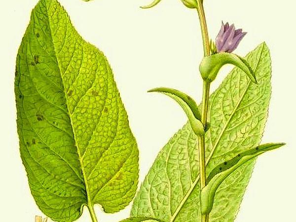 Bellflower (Campanula) https://www.sagebud.com/bellflower-campanula