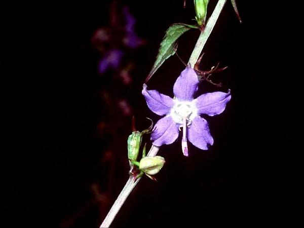 Bellflower (Campanulastrum) https://www.sagebud.com/bellflower-campanulastrum