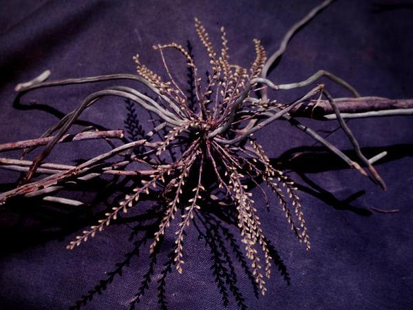 Bentspur Orchid (Campylocentrum) https://www.sagebud.com/bentspur-orchid-campylocentrum