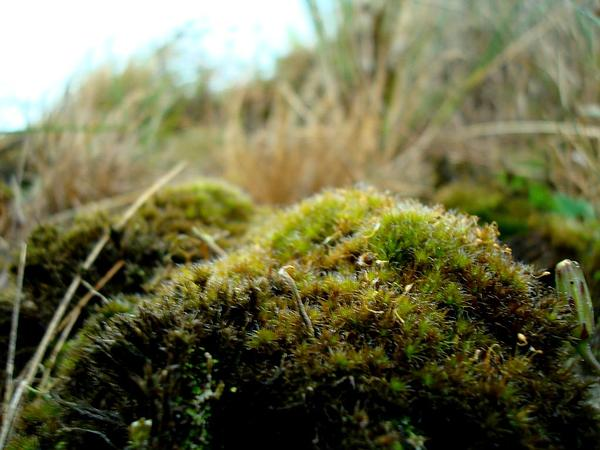 Campylopus Moss (Campylopus) https://www.sagebud.com/campylopus-moss-campylopus