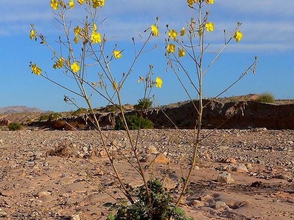 Froststem Suncup (Camissonia Multijuga) https://www.sagebud.com/froststem-suncup-camissonia-multijuga