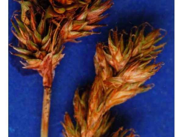 Manyrib Sedge (Carex Multicostata) https://www.sagebud.com/manyrib-sedge-carex-multicostata