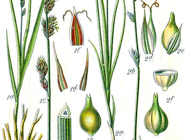 Rough Sedge (Carex Muricata) https://www.sagebud.com/rough-sedge-carex-muricata