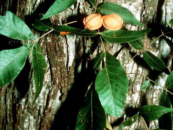 Nutmeg Hickory (Carya Myristiciformis) https://www.sagebud.com/nutmeg-hickory-carya-myristiciformis