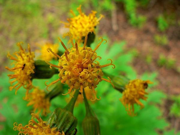 Silvercrown (Cacaliopsis Nardosmia) https://www.sagebud.com/silvercrown-cacaliopsis-nardosmia/