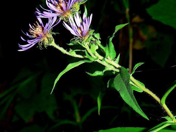 Mountain Aster (Canadanthus) https://www.sagebud.com/mountain-aster-canadanthus