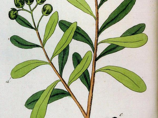 Wild Cinnamon (Canella) https://www.sagebud.com/wild-cinnamon-canella/