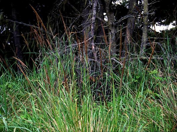Pacific Reedgrass (Calamagrostis Nutkaensis) https://www.sagebud.com/pacific-reedgrass-calamagrostis-nutkaensis