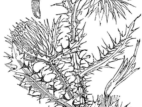 Nodding Plumeless Thistle (Carduus Nutans) https://www.sagebud.com/nodding-plumeless-thistle-carduus-nutans