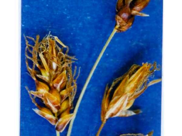 Obtuse Sedge (Carex Obtusata) https://www.sagebud.com/obtuse-sedge-carex-obtusata