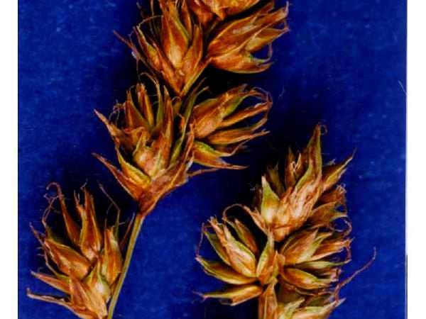 Western Sedge (Carex Occidentalis) https://www.sagebud.com/western-sedge-carex-occidentalis