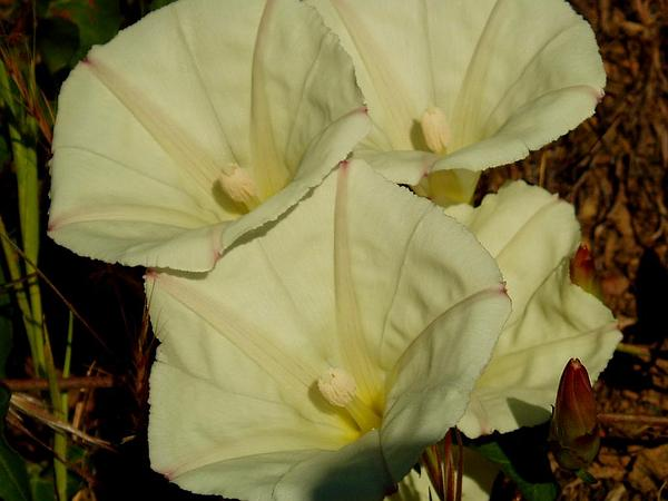 Chaparral False Bindweed (Calystegia Occidentalis) https://www.sagebud.com/chaparral-false-bindweed-calystegia-occidentalis