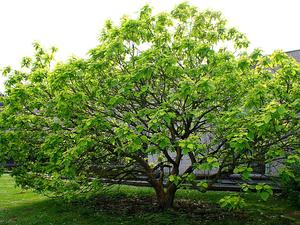 Chinese Catalpa