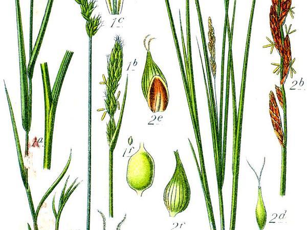 Eggbract Sedge (Carex Ovalis) https://www.sagebud.com/eggbract-sedge-carex-ovalis