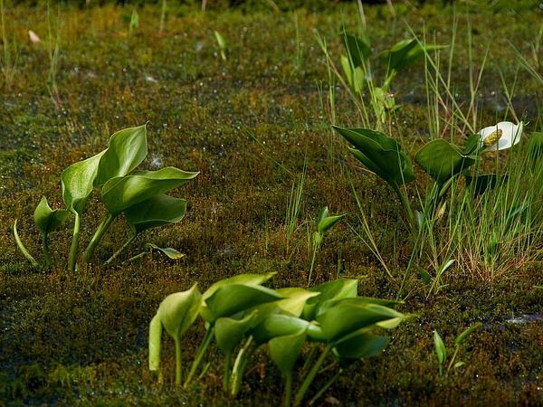Water Arum (Calla Palustris) https://www.sagebud.com/water-arum-calla-palustris
