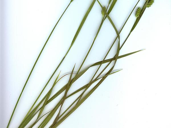 Pale Sedge (Carex Pallescens) https://www.sagebud.com/pale-sedge-carex-pallescens