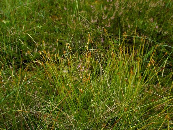 Fewflower Sedge (Carex Pauciflora) https://www.sagebud.com/fewflower-sedge-carex-pauciflora