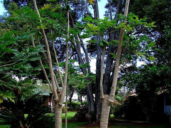 Papaya (Carica Papaya) https://www.sagebud.com/papaya-carica-papaya