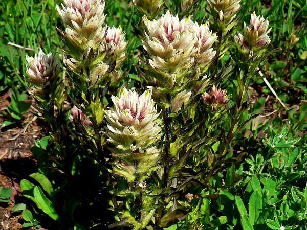 Mountain Indian Paintbrush (Castilleja Parviflora) https://www.sagebud.com/mountain-indian-paintbrush-castilleja-parviflora